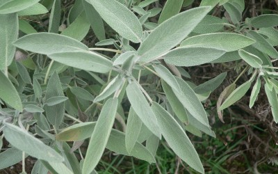 Herb of the Month:  SAGE